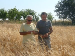 Organic seed & plant breeding LIVESEED wheat field trial
